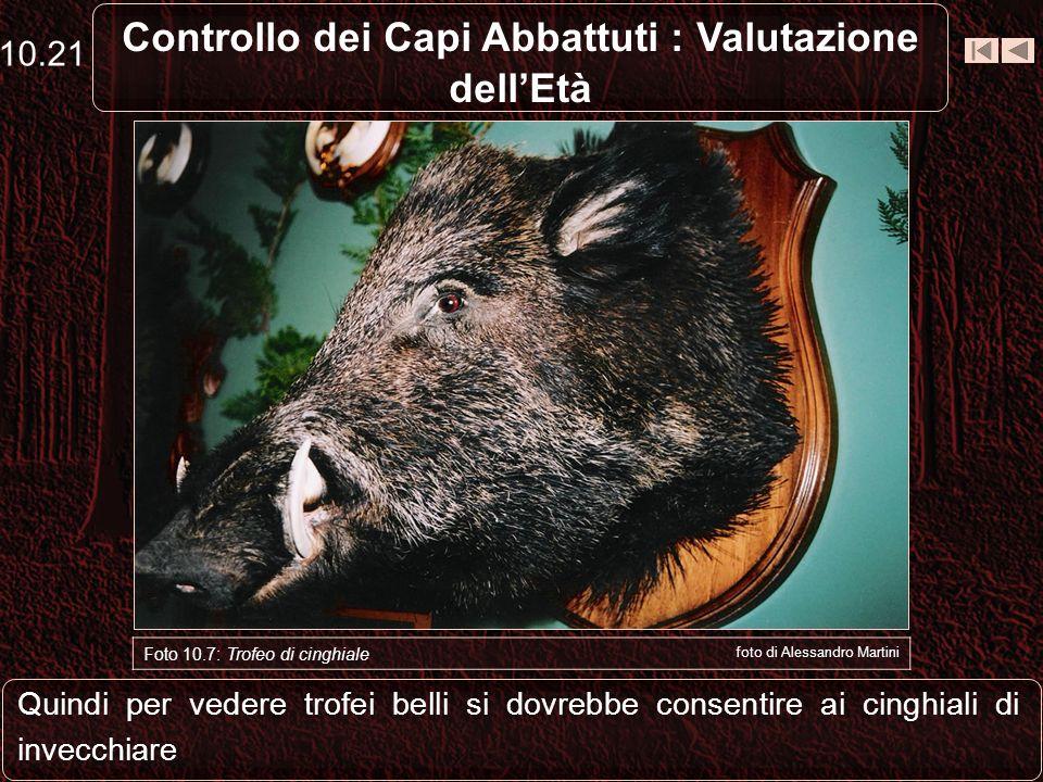 Controllo dei Capi Abbattuti : Valutazione dellEtà Lo sviluppo del trofeo non è una caratteristica dei cinghiali grossi, ma è in rapporto con letà 10.