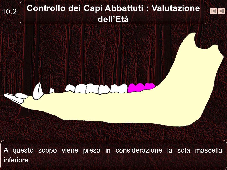 La valutazione delletà dei capi abbattuti viene fatta basandosi in modo preminente sullesame della tavola dentaria 10.1 Controllo dei Capi Abbattuti :