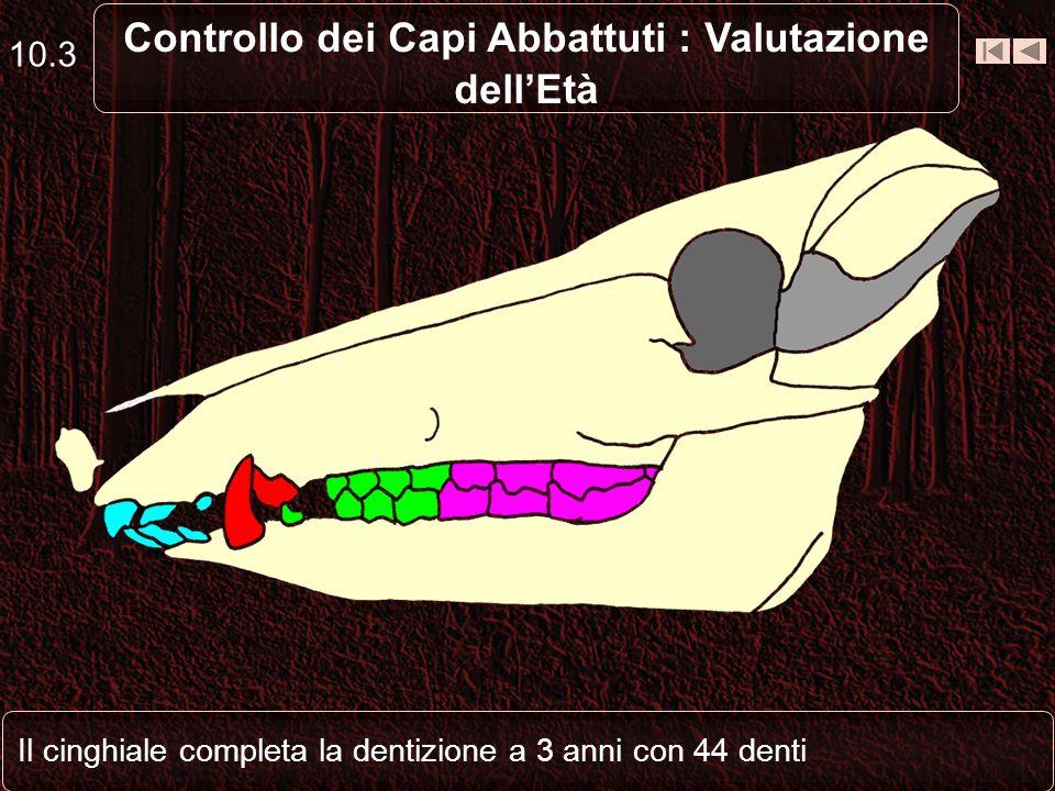 10.3 Controllo dei Capi Abbattuti : Valutazione dellEtà Il cinghiale completa la dentizione a 3 anni con 44 denti