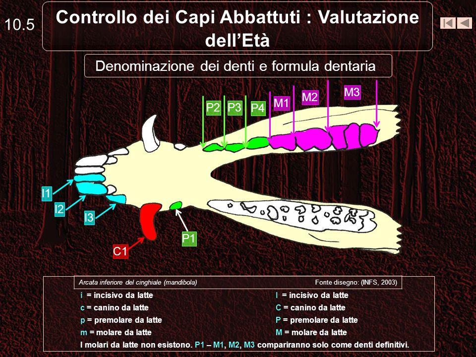 10.4 Controllo dei Capi Abbattuti : Valutazione dellEtà Totale x 2 MolariPremolariCaniniIncisivi 3413Inferiore 44 3413Superiore Formula dentaria defin