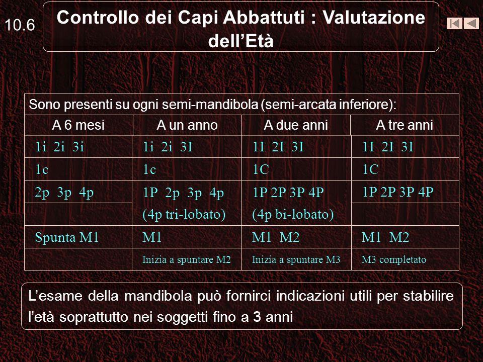 10.6 Controllo dei Capi Abbattuti : Valutazione dellEtà Sono presenti su ogni semi-mandibola (semi-arcata inferiore): A tre anniA due anniA un annoA 6 mesi M3 completatoInizia a spuntare M3Inizia a spuntare M2 M1 M2 M1Spunta M1 1P 2P 3P 4P (4p bi-lobato) 1P 2p 3p 4p (4p tri-lobato) 2p 3p 4p 1C 1c 1I 2I 3I 1i 2i 3I1i 2i 3i Lesame della mandibola può fornirci indicazioni utili per stabilire letà soprattutto nei soggetti fino a 3 anni