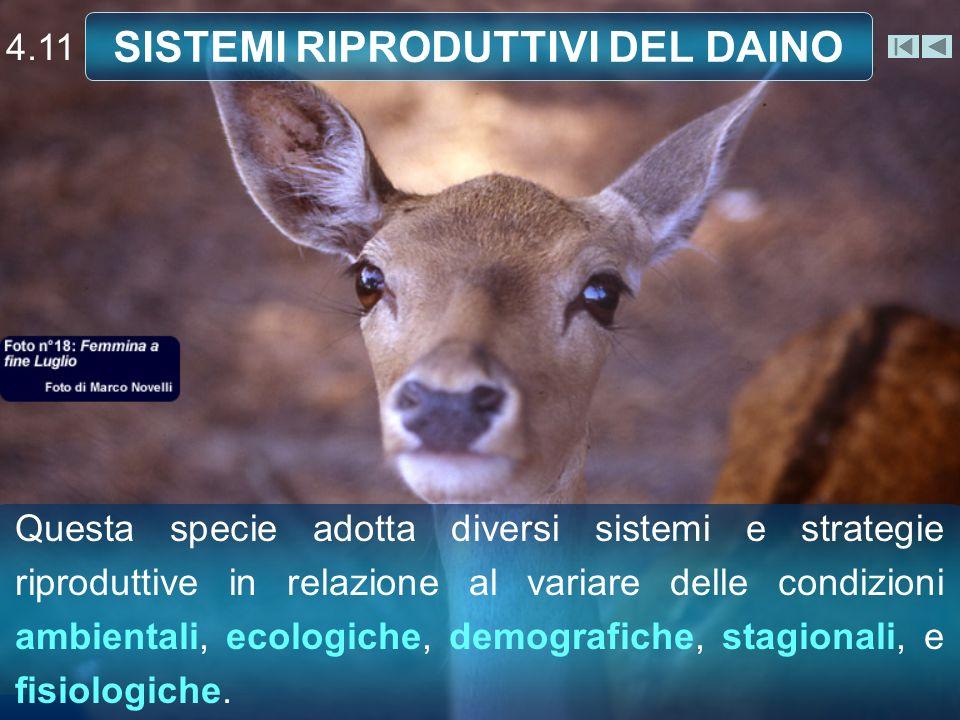 SISTEMI RIPRODUTTIVI DEL DAINO Questa specie adotta diversi sistemi e strategie riproduttive in relazione al variare delle condizioni ambientali, ecologiche, demografiche, stagionali, e fisiologiche.