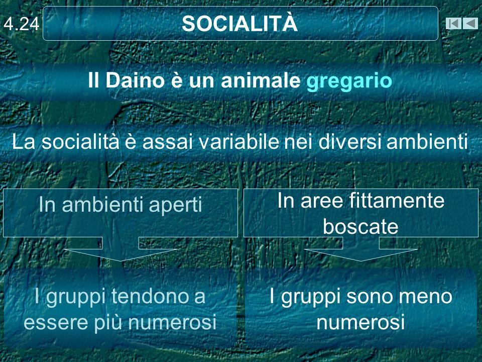 SOCIALITÀ 4.24 Il Daino è un animale gregario I gruppi tendono a essere più numerosi I gruppi sono meno numerosi In ambienti aperti In aree fittamente boscate La socialità è assai variabile nei diversi ambienti