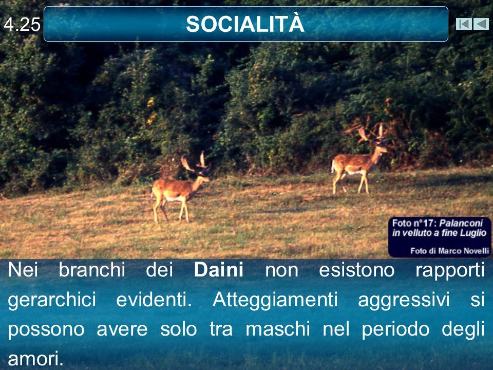 SOCIALITÀ 4.25 Nei branchi dei Daini non esistono rapporti gerarchici evidenti. Atteggiamenti aggressivi si possono avere solo tra maschi nel periodo