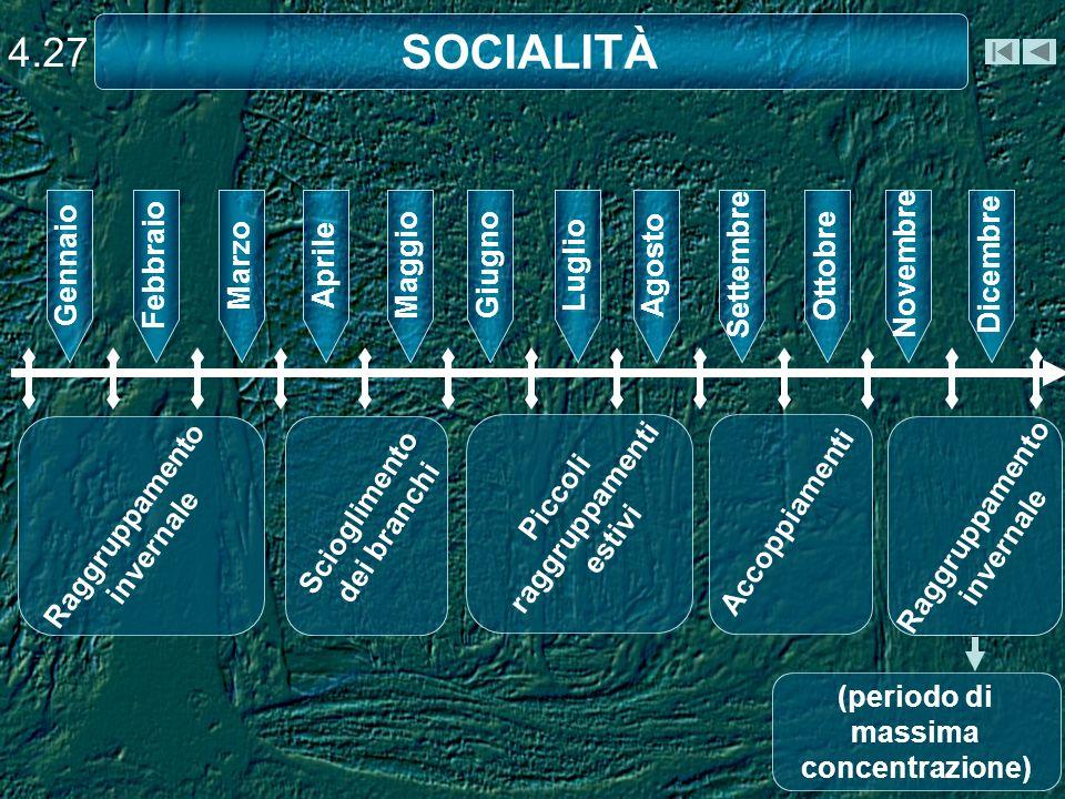 SOCIALITÀ 4.27 GiugnoLuglioAgostoSettembreOttobreNovembreDicembreGennaioFebbraioMarzoAprileMaggio Raggruppamento invernale Scioglimento dei branchi Pi