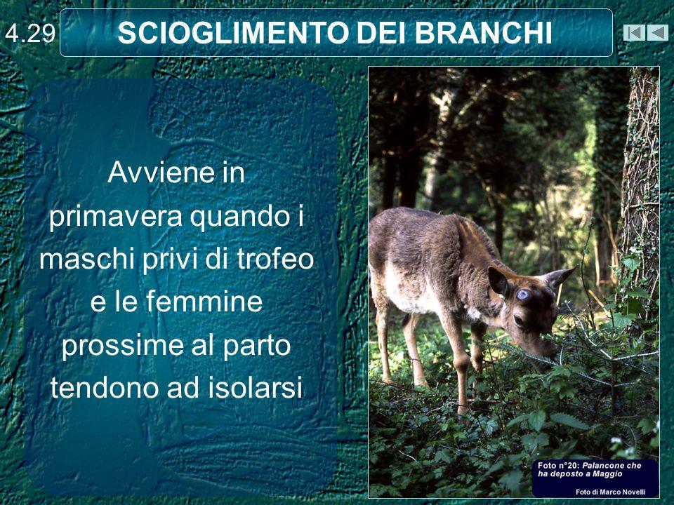 SCIOGLIMENTO DEI BRANCHI 4.29 Avviene in primavera quando i maschi privi di trofeo e le femmine prossime al parto tendono ad isolarsi