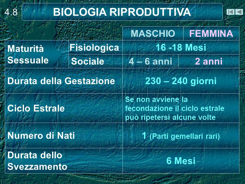 4.8 BIOLOGIA RIPRODUTTIVA 2 anni4 – 6 anniSociale Fisiologica 6 Mesi Durata dello Svezzamento 1 (Parti gemellari rari) Numero di Nati Se non avviene la fecondazione il ciclo estrale può ripetersi alcune volte Ciclo Estrale 230 – 240 giorniDurata della Gestazione 16 -18 Mesi Maturità Sessuale FEMMINAMASCHIO