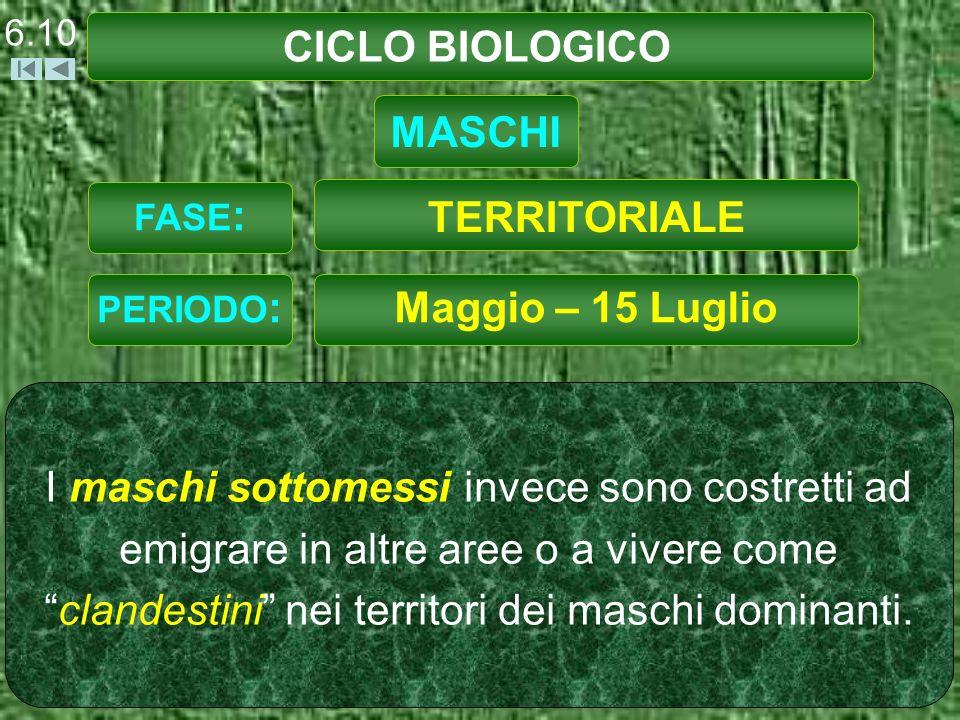 CICLO BIOLOGICO Maggio – 15 Luglio I maschi sottomessi invece sono costretti ad emigrare in altre aree o a vivere comeclandestini nei territori dei maschi dominanti.