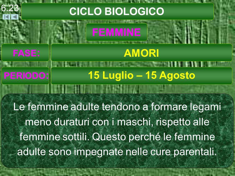 CICLO BIOLOGICO 15 Luglio – 15 Agosto Le femmine adulte tendono a formare legami meno duraturi con i maschi, rispetto alle femmine sottili.