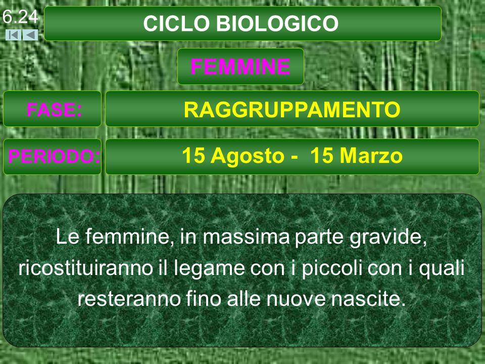 CICLO BIOLOGICO 15 Agosto - 15 Marzo Le femmine, in massima parte gravide, ricostituiranno il legame con i piccoli con i quali resteranno fino alle nuove nascite.