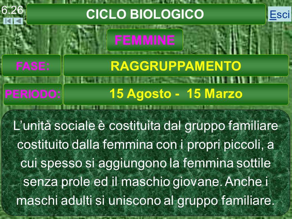 CICLO BIOLOGICO 15 Agosto - 15 Marzo Lunità sociale è costituita dal gruppo familiare costituito dalla femmina con i propri piccoli, a cui spesso si aggiungono la femmina sottile senza prole ed il maschio giovane.