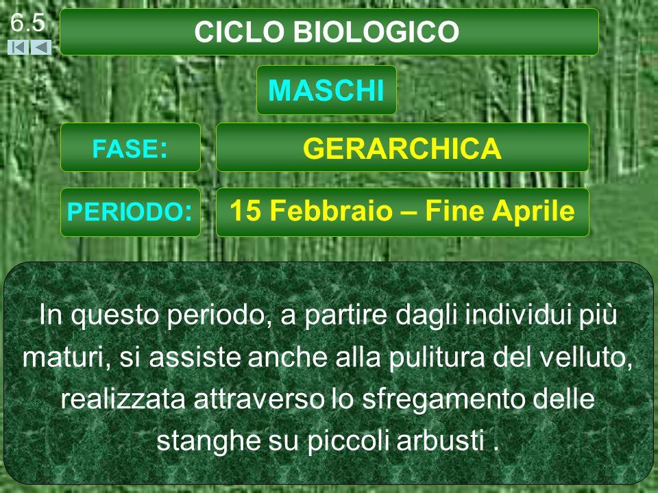 CICLO BIOLOGICO 6.5 15 Febbraio – Fine Aprile In questo periodo, a partire dagli individui più maturi, si assiste anche alla pulitura del velluto, realizzata attraverso lo sfregamento delle stanghe su piccoli arbusti.
