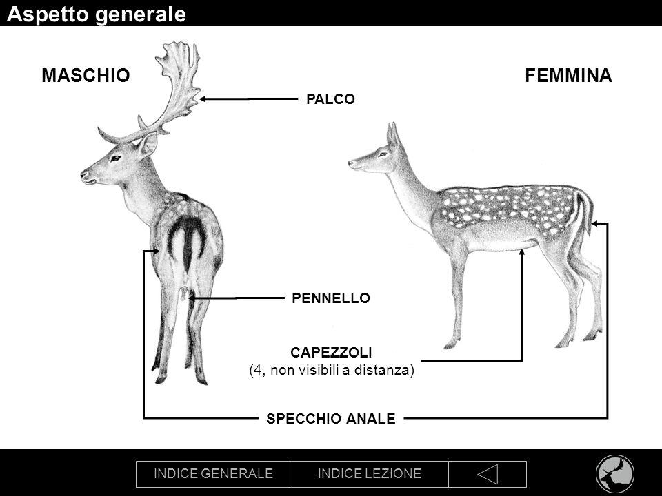 INDICE GENERALEINDICE LEZIONE Aspetto generale SPECCHIO ANALE PALCO CAPEZZOLI (4, non visibili a distanza) FEMMINAMASCHIO PENNELLO