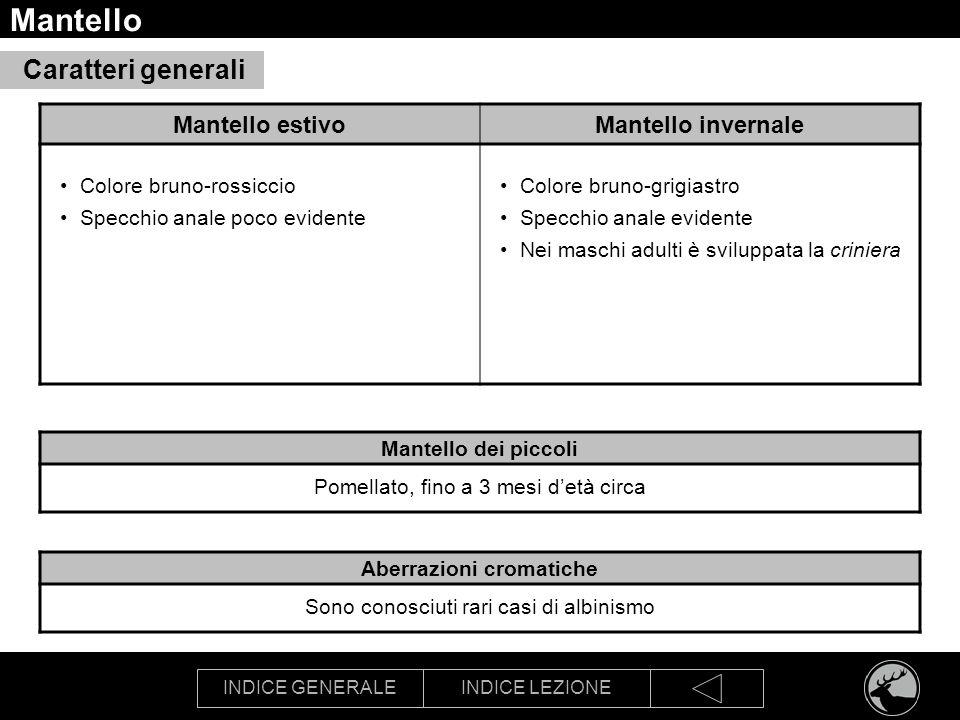 INDICE GENERALEINDICE LEZIONE Mantello Caratteri generali Mantello estivoMantello invernale Colore bruno-rossiccio Specchio anale poco evidente Colore