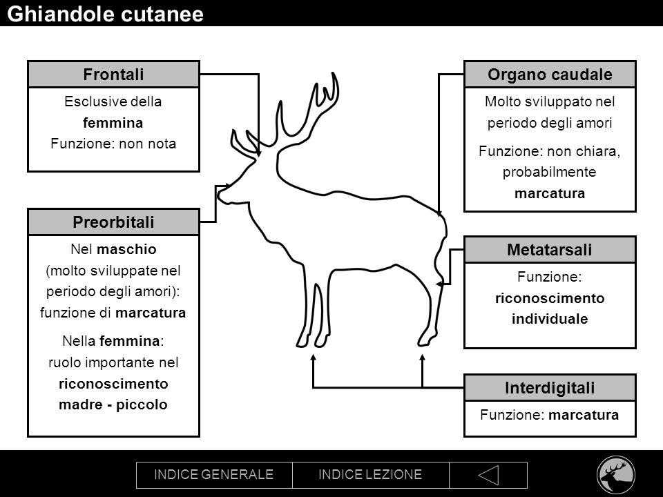 INDICE GENERALEINDICE LEZIONE Ghiandole cutanee Preorbitali Nel maschio (molto sviluppate nel periodo degli amori): funzione di marcatura Nella femmin