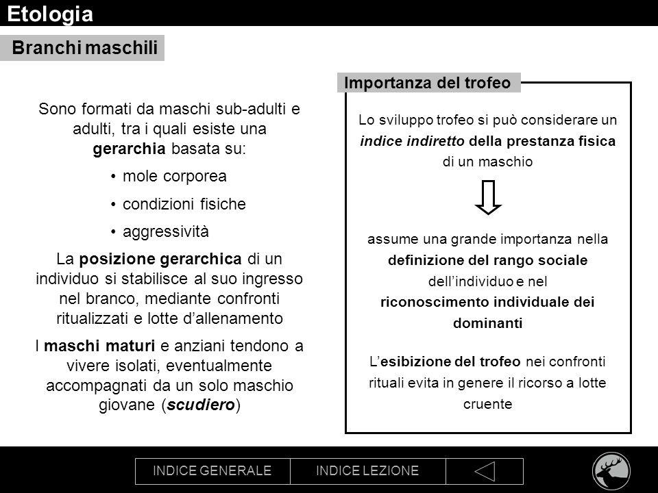 INDICE GENERALEINDICE LEZIONE Etologia Branchi maschili Sono formati da maschi sub-adulti e adulti, tra i quali esiste una gerarchia basata su: mole c