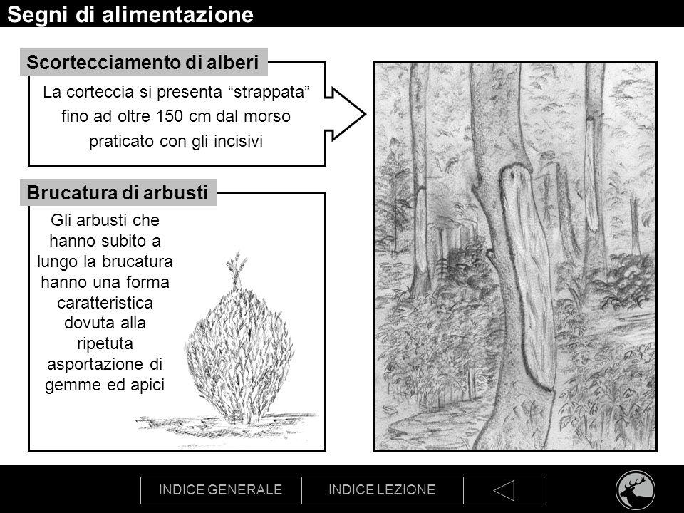 INDICE GENERALEINDICE LEZIONE Segni di alimentazione Gli arbusti che hanno subito a lungo la brucatura hanno una forma caratteristica dovuta alla ripe