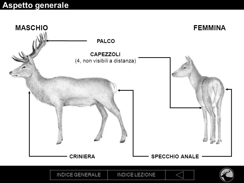 INDICE GENERALEINDICE LEZIONE Aspetto generale SPECCHIO ANALE PALCO CAPEZZOLI (4, non visibili a distanza) FEMMINAMASCHIO CRINIERA