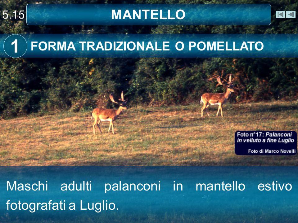 5.15 MANTELLO FORMA TRADIZIONALE O POMELLATO 1 Maschi adulti palanconi in mantello estivo fotografati a Luglio.