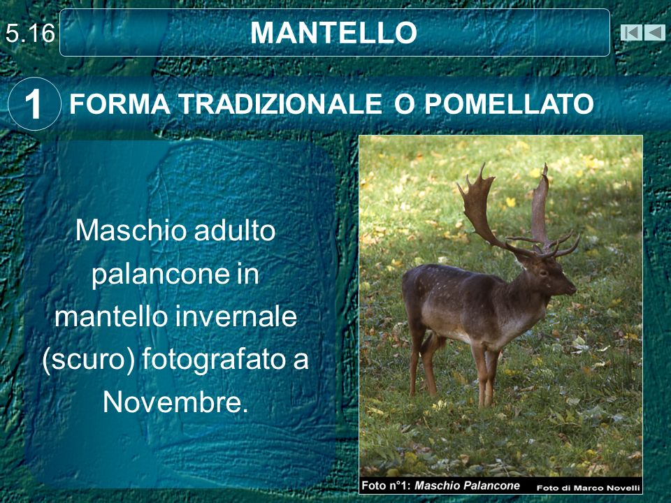 5.16 MANTELLO FORMA TRADIZIONALE O POMELLATO 1 Maschio adulto palancone in mantello invernale (scuro) fotografato a Novembre.