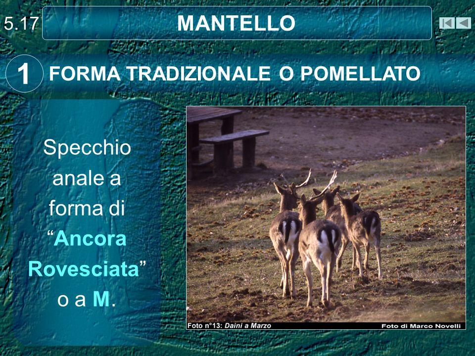 5.17 MANTELLO FORMA TRADIZIONALE O POMELLATO 1 Specchio anale a forma diAncora Rovesciata o a M.