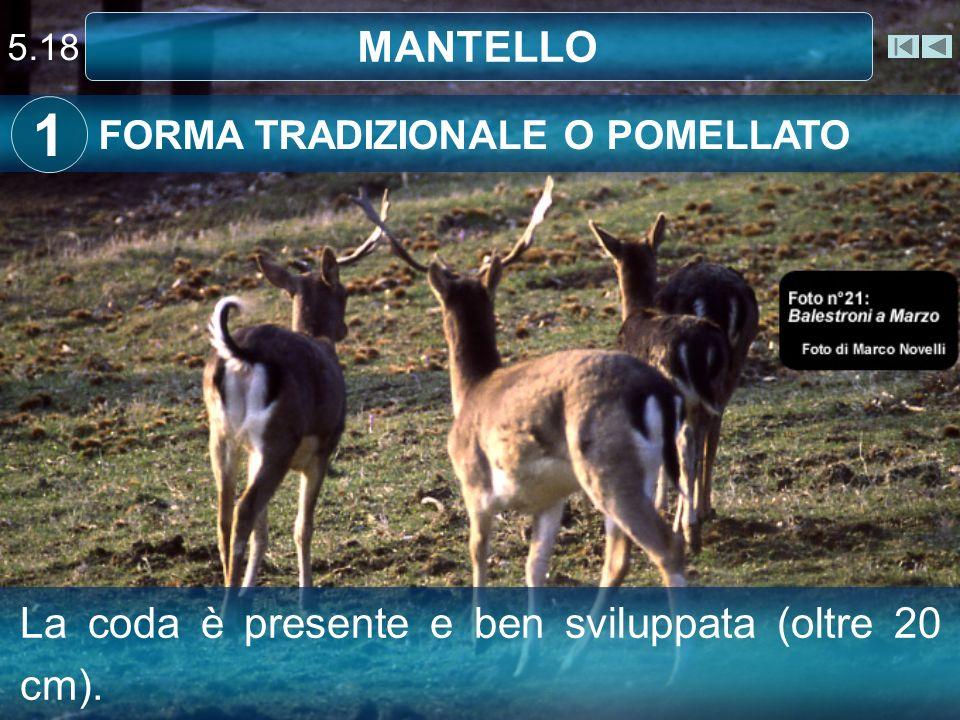 5.18 MANTELLO FORMA TRADIZIONALE O POMELLATO 1 La coda è presente e ben sviluppata (oltre 20 cm).
