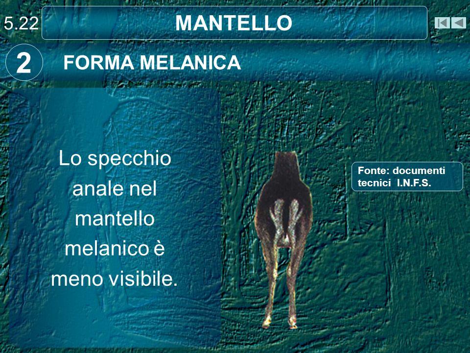 MANTELLO FORMA MELANICA 2 Lo specchio anale nel mantello melanico è meno visibile. 5.22 Fonte: documenti tecnici I.N.F.S.