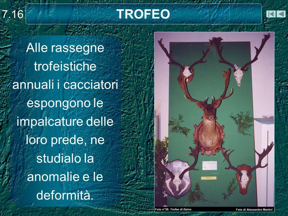 TROFEO Alle rassegne trofeistiche annuali i cacciatori espongono le impalcature delle loro prede, ne studialo la anomalie e le deformità. 7.16