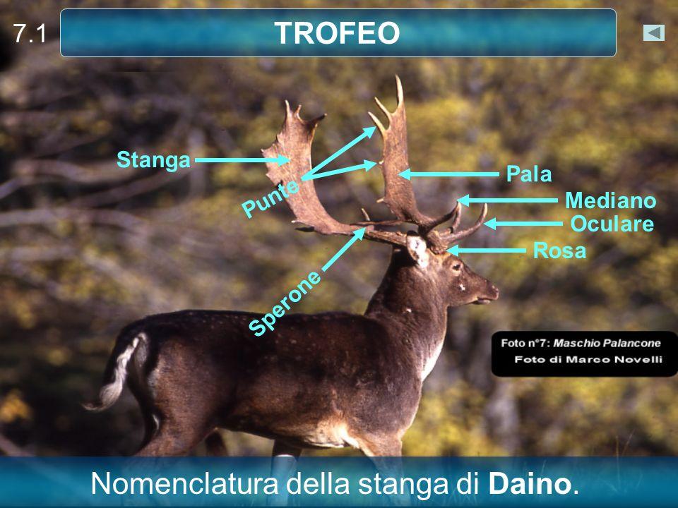 7.1 TROFEO Stanga Punte Sperone Pala Mediano Oculare Rosa Nomenclatura della stanga di Daino.