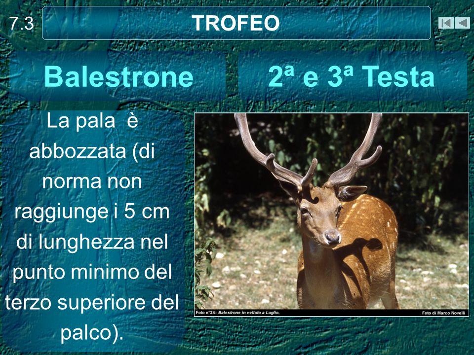 7.3 TROFEO La pala è abbozzata (di norma non raggiunge i 5 cm di lunghezza nel punto minimo del terzo superiore del palco). 2ª e 3ª Testa Balestrone