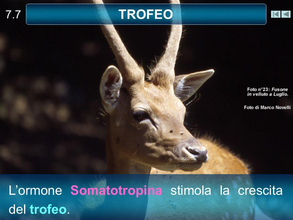 7.7 TROFEO Lormone Somatotropina stimola la crescita del trofeo.