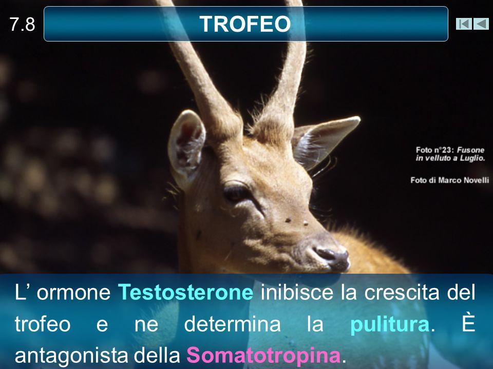 7.8 TROFEO L ormone Testosterone inibisce la crescita del trofeo e ne determina la pulitura. È antagonista della Somatotropina.