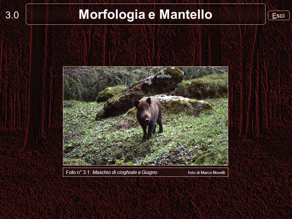 3.0 Esci Morfologia e Mantello Foto n° 3.1: Maschio di cinghiale a Giugno foto di Marco Novelli