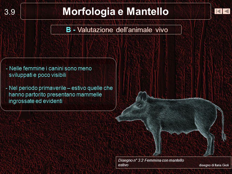 3.9 Morfologia e Mantello B - Valutazione dellanimale vivo - Nelle femmine i canini sono meno sviluppati e poco visibili - Nel periodo primaverile – e