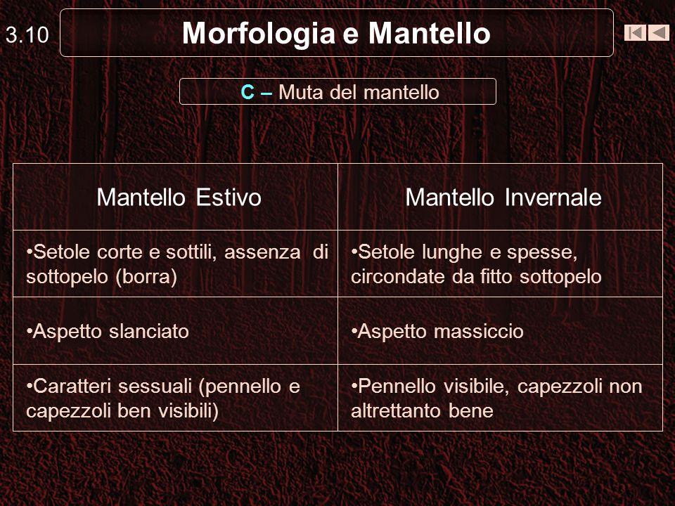Morfologia e Mantello C – Muta del mantello 3.10 Pennello visibile, capezzoli non altrettanto bene Caratteri sessuali (pennello e capezzoli ben visibi