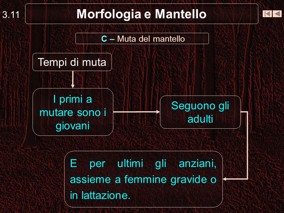 Morfologia e Mantello 3.11 I primi a mutare sono i giovani Seguono gli adulti E per ultimi gli anziani, assieme a femmine gravide o in lattazione. Tem