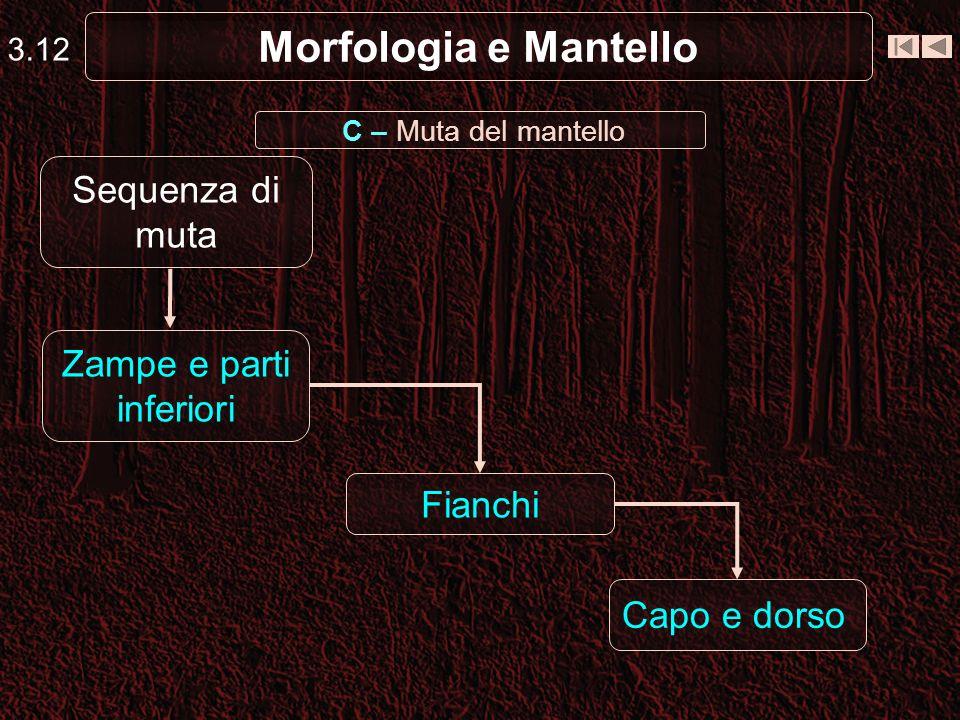 Morfologia e Mantello 3.12 Zampe e parti inferiori Fianchi Capo e dorso Sequenza di muta C – Muta del mantello