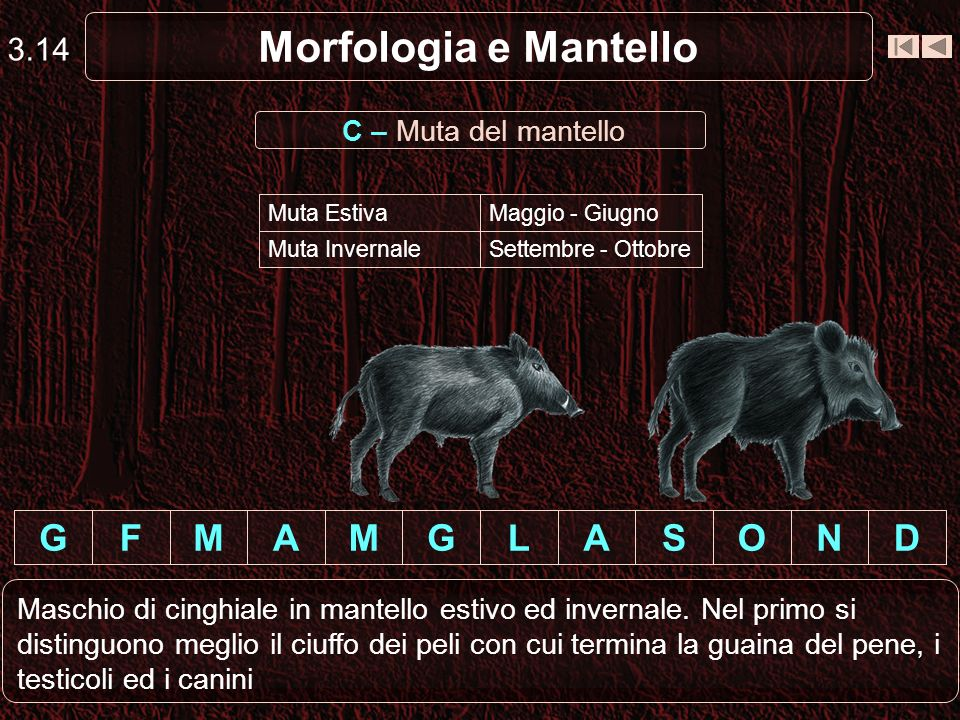 Morfologia e Mantello 3.14 DNOSALGMAMFG Maschio di cinghiale in mantello estivo ed invernale. Nel primo si distinguono meglio il ciuffo dei peli con c