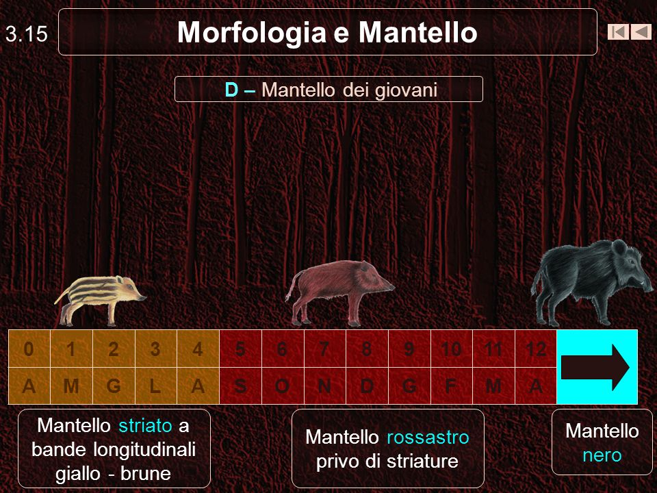 Morfologia e Mantello 3.15 D – Mantello dei giovani AMFGDNOSALGMA 1211109876543210 Mantello striato a bande longitudinali giallo - brune Mantello ross