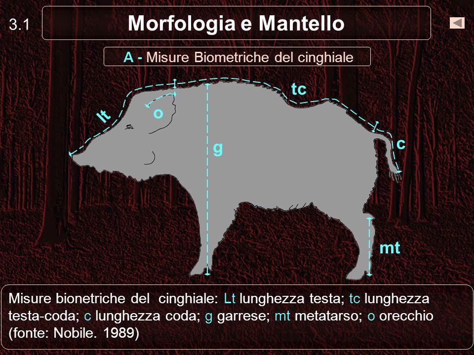 3.1 Morfologia e Mantello A - Misure Biometriche del cinghiale lt tc c g mt o Misure bionetriche del cinghiale: Lt lunghezza testa; tc lunghezza testa
