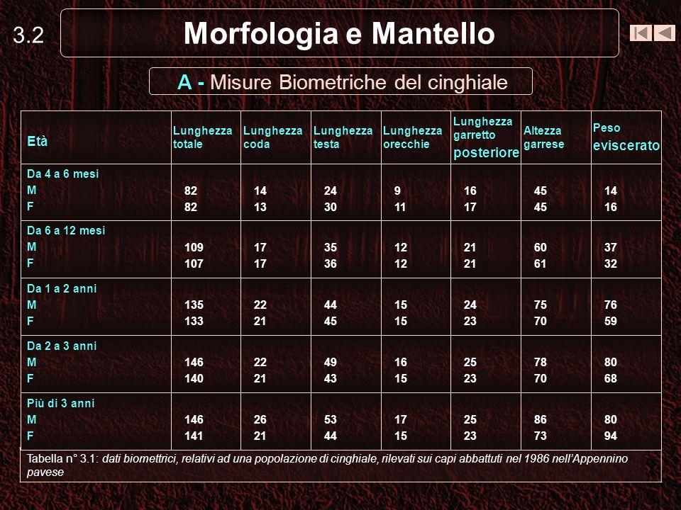 3.2 Morfologia e Mantello Tabella n° 3.1: dati biomettrici, relativi ad una popolazione di cinghiale, rilevati sui capi abbattuti nel 1986 nellAppenni
