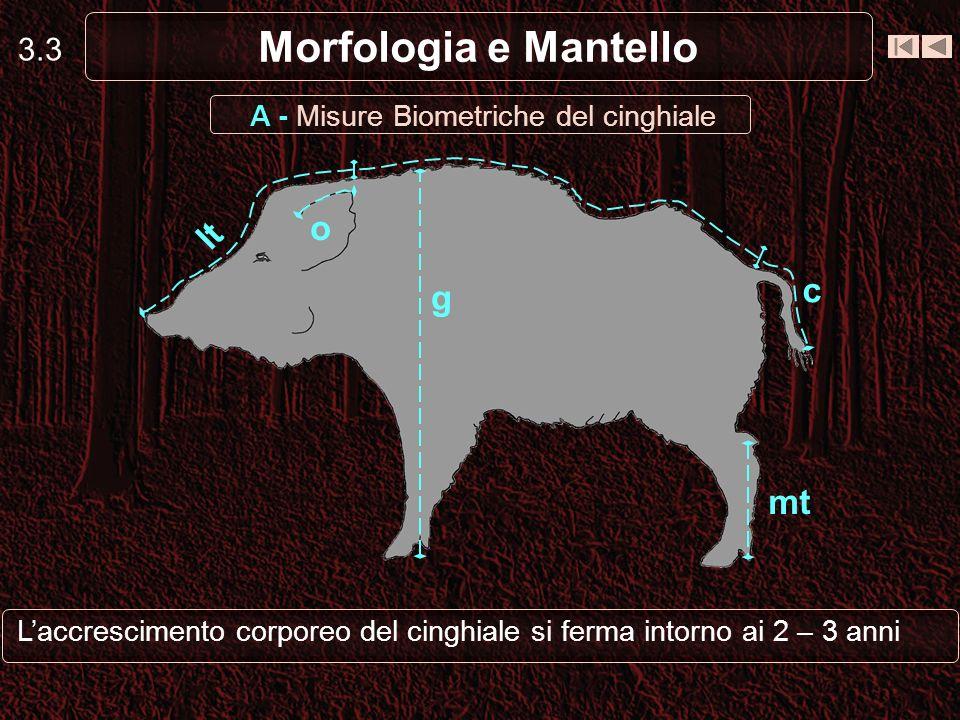 3.3 Morfologia e Mantello Laccrescimento corporeo del cinghiale si ferma intorno ai 2 – 3 anni lt c g mt o A - Misure Biometriche del cinghiale