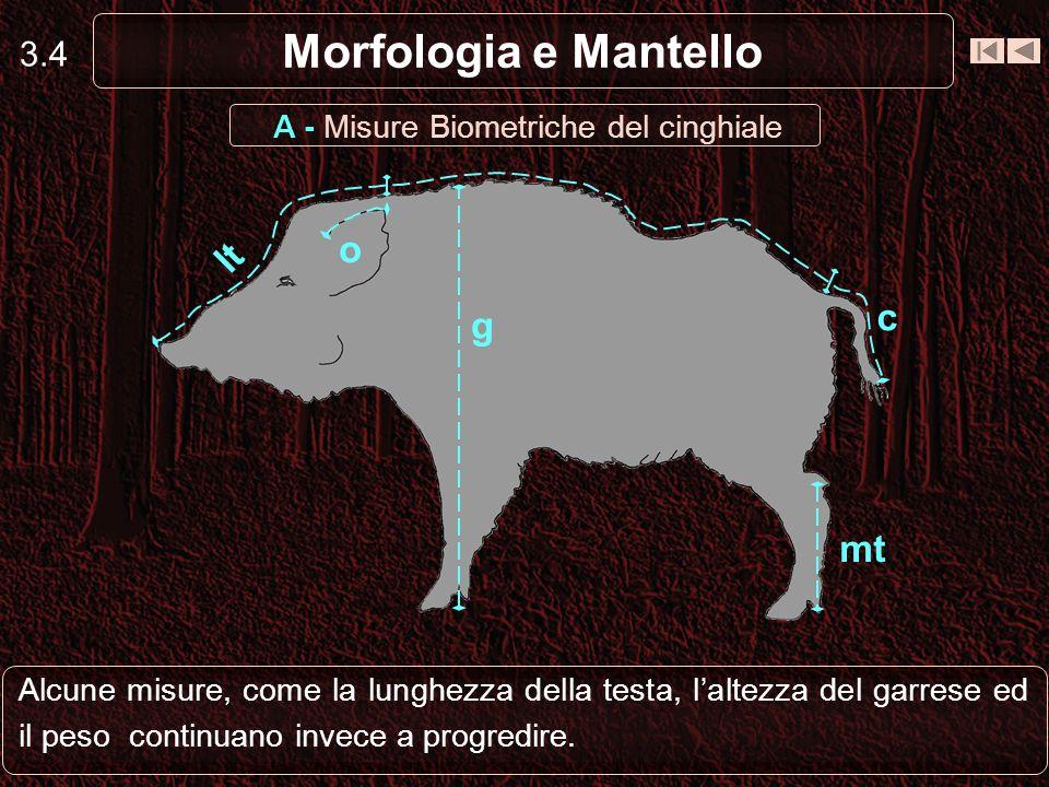 3.4 Morfologia e Mantello Alcune misure, come la lunghezza della testa, laltezza del garrese ed il peso continuano invece a progredire. lt c g mt o A