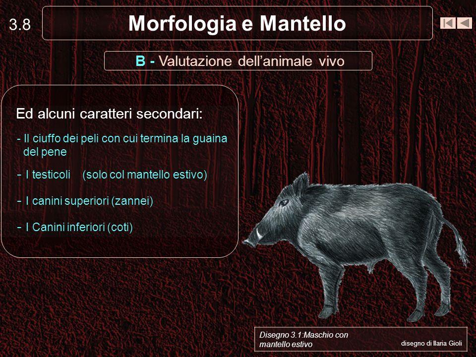 3.8 Morfologia e Mantello B - Valutazione dellanimale vivo Ed alcuni caratteri secondari: - Il ciuffo dei peli con cui termina la guaina del pene - I