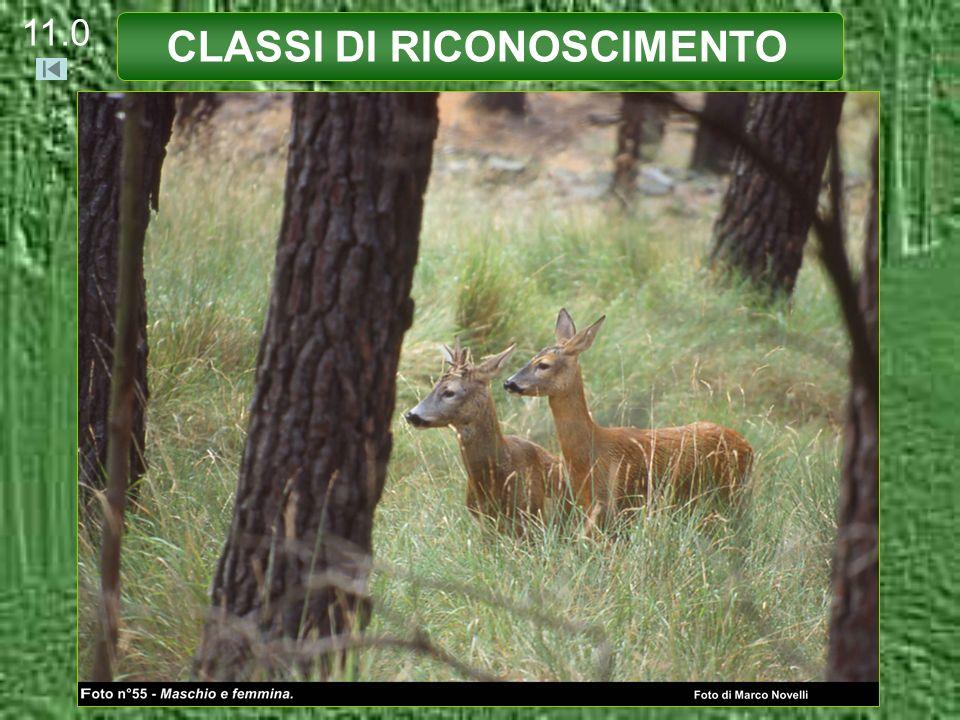CLASSI DI RICONOSCIMENTO PICCOLO MASCHIO (età inferiore ai 12 mesi) Palchi Assenti o in crescita.