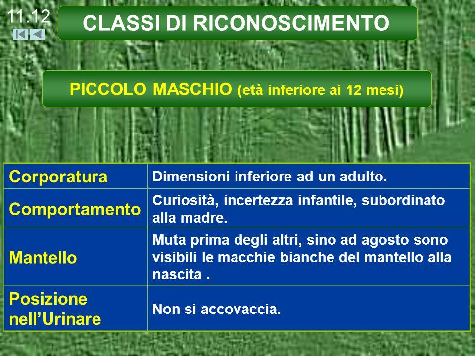 CLASSI DI RICONOSCIMENTO PICCOLO MASCHIO (età inferiore ai 12 mesi) Corporatura Dimensioni inferiore ad un adulto. Comportamento Curiosità, incertezza
