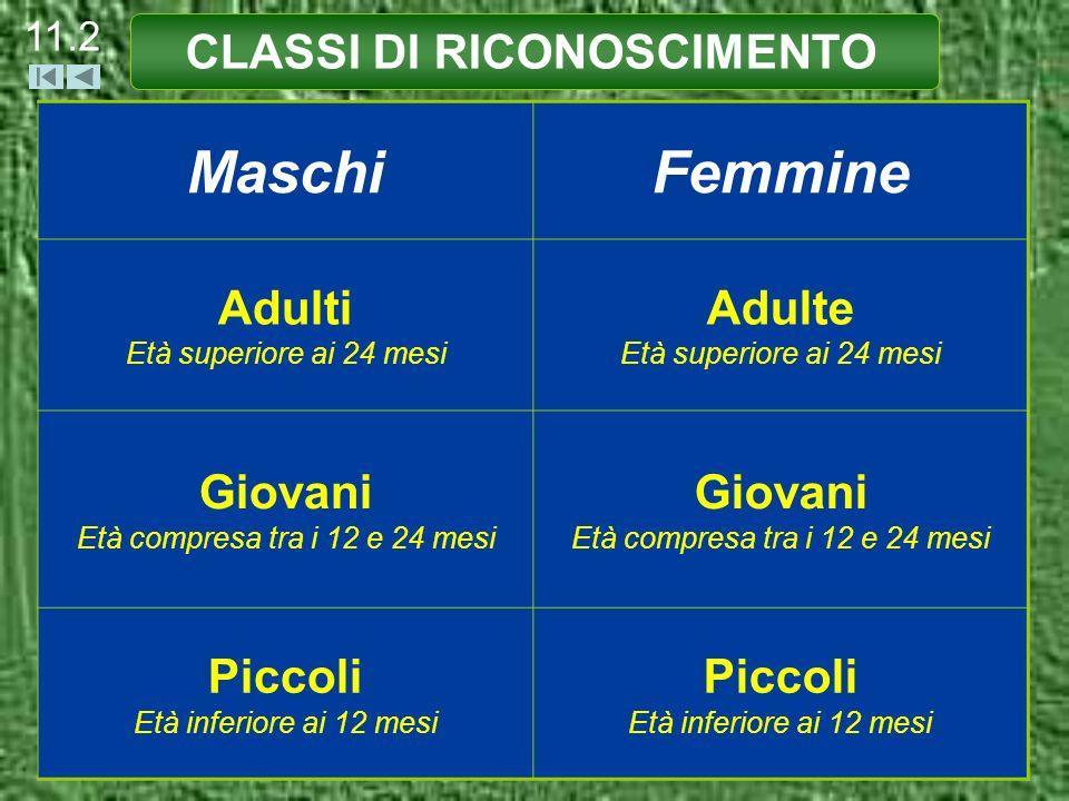 CLASSI DI RICONOSCIMENTO 11.3 MASCHIO ADULTO (età superiore ai 24 mesi) Palco Lungo più di una volta e mezza laltezza dellorecchio (indipendentemente dalla forma).