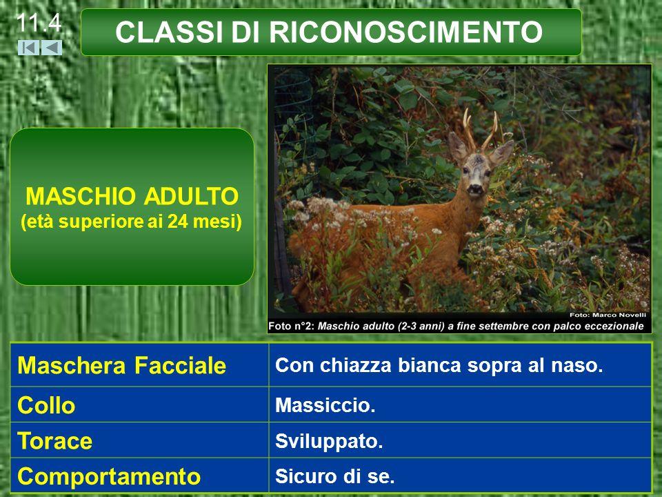 CLASSI DI RICONOSCIMENTO 11.5 Palco Altezza non superiore o di poco superiore a quella dell orecchio.