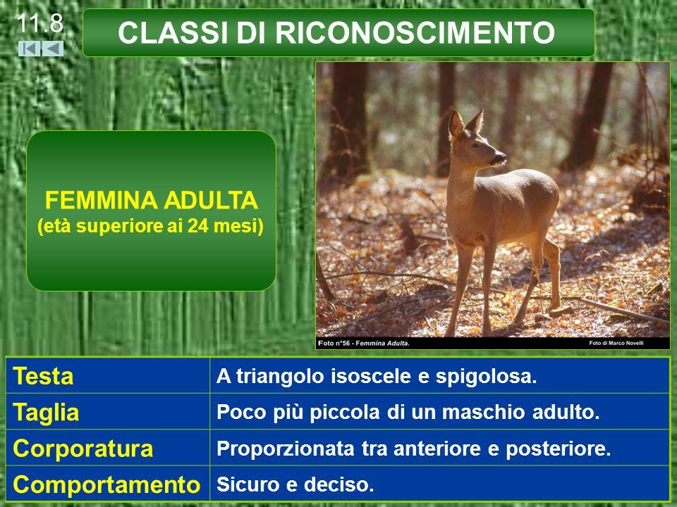 CLASSI DI RICONOSCIMENTO 11.8 FEMMINA ADULTA (età superiore ai 24 mesi) Testa A triangolo isoscele e spigolosa. Taglia Poco più piccola di un maschio