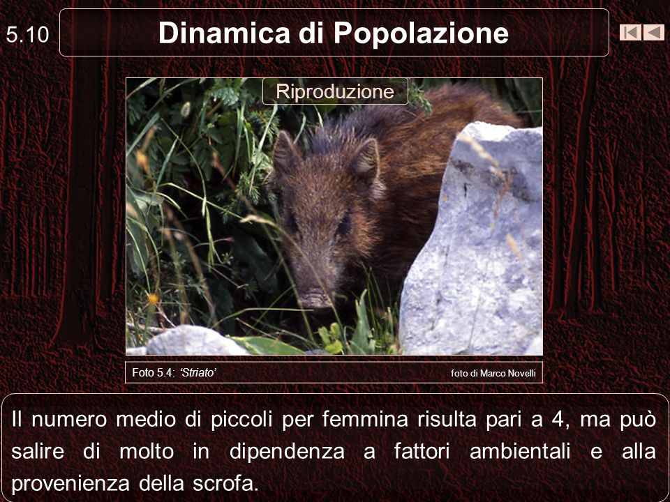 Il numero medio di piccoli per femmina risulta pari a 4, ma può salire di molto in dipendenza a fattori ambientali e alla provenienza della scrofa. 5.
